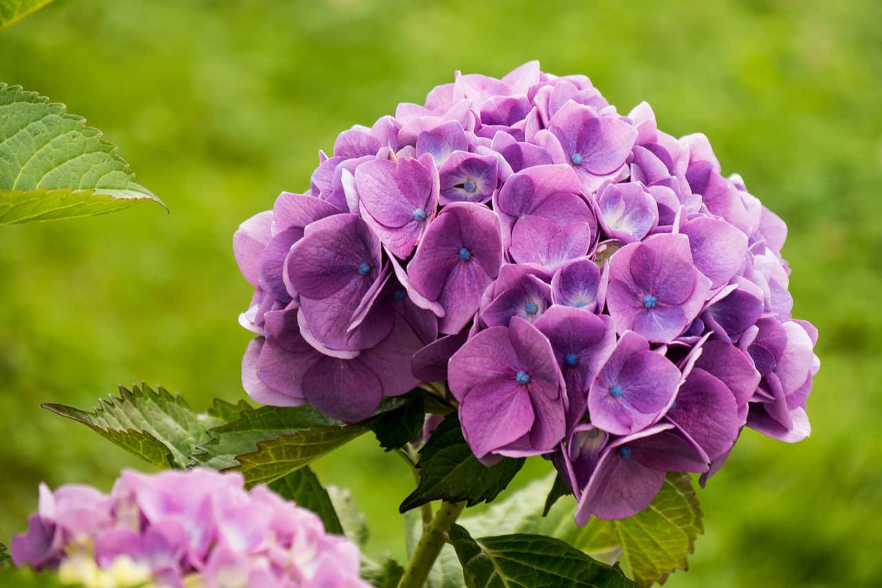 Hướng dẫn kỹ thuật trồng hoa cẩm tú cầu