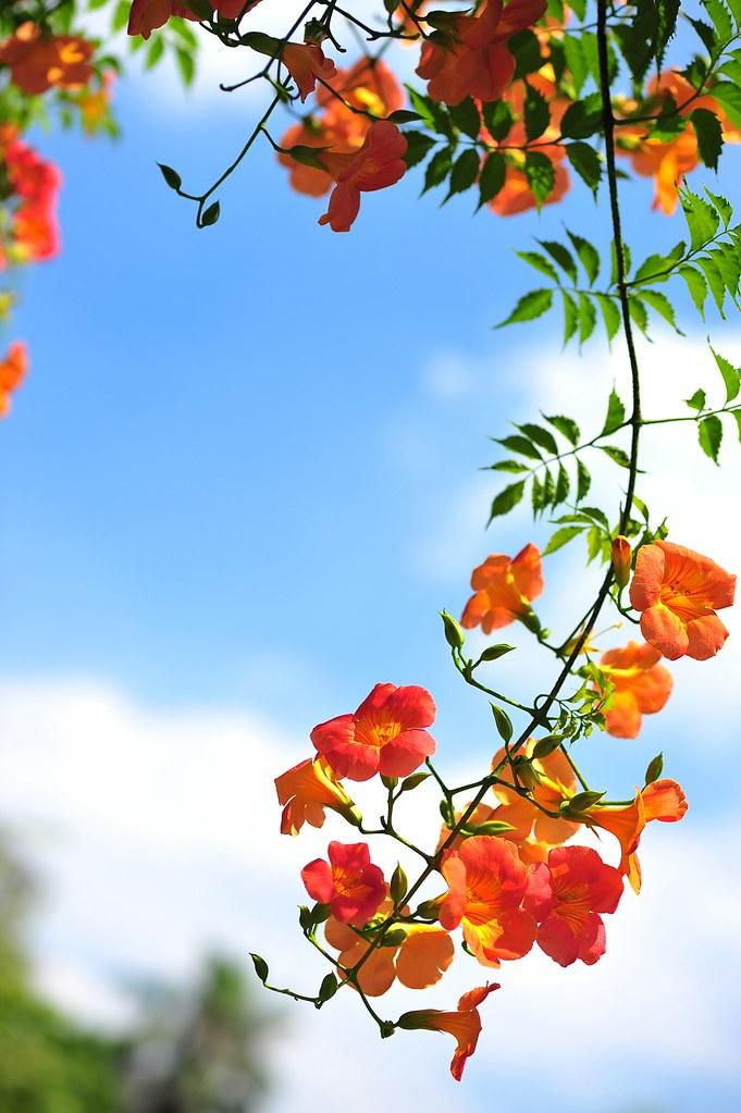 Trồng hoa đăng tiêu bằng cách giâm cành;