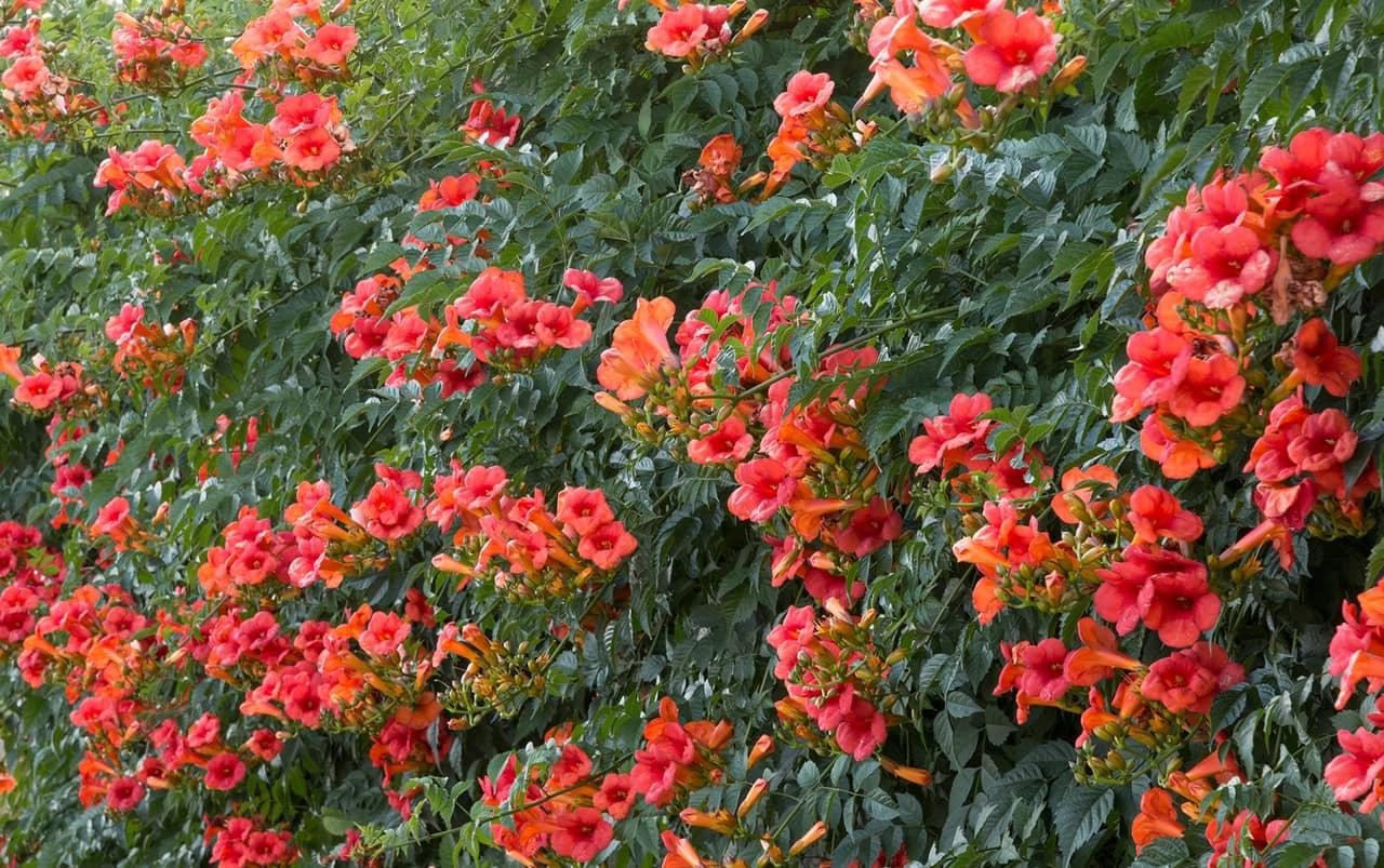 Giàn hoa lan tiêu