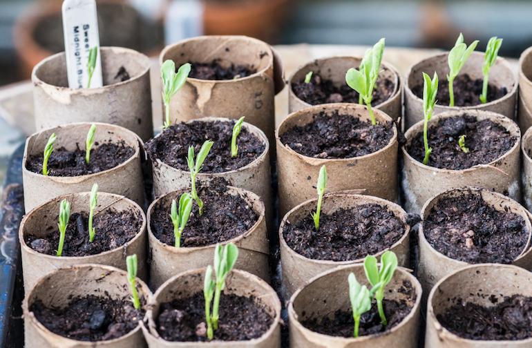 Kỹ thuật gieo trồng hoa đậu biếc bằng hạt
