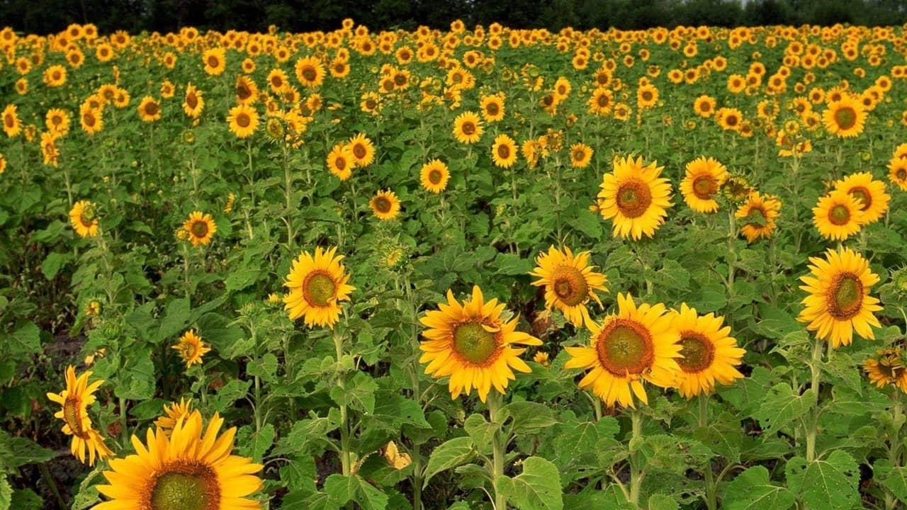 Hướng dẫn chi tiết các bước trồng hoa hướng dương lùn tại nhà