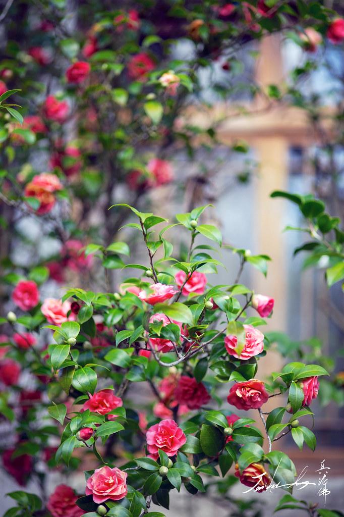 Hướng dẫn cách gieo hạt trồng hoa trà đua nhau khoe sắc