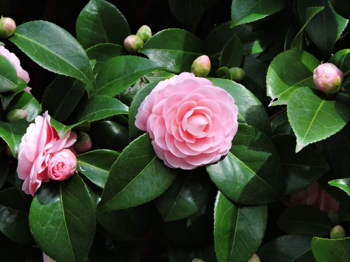 Kỹ thuật trồng hoa trà my ngay tại nhà đua nhau khoe sắc