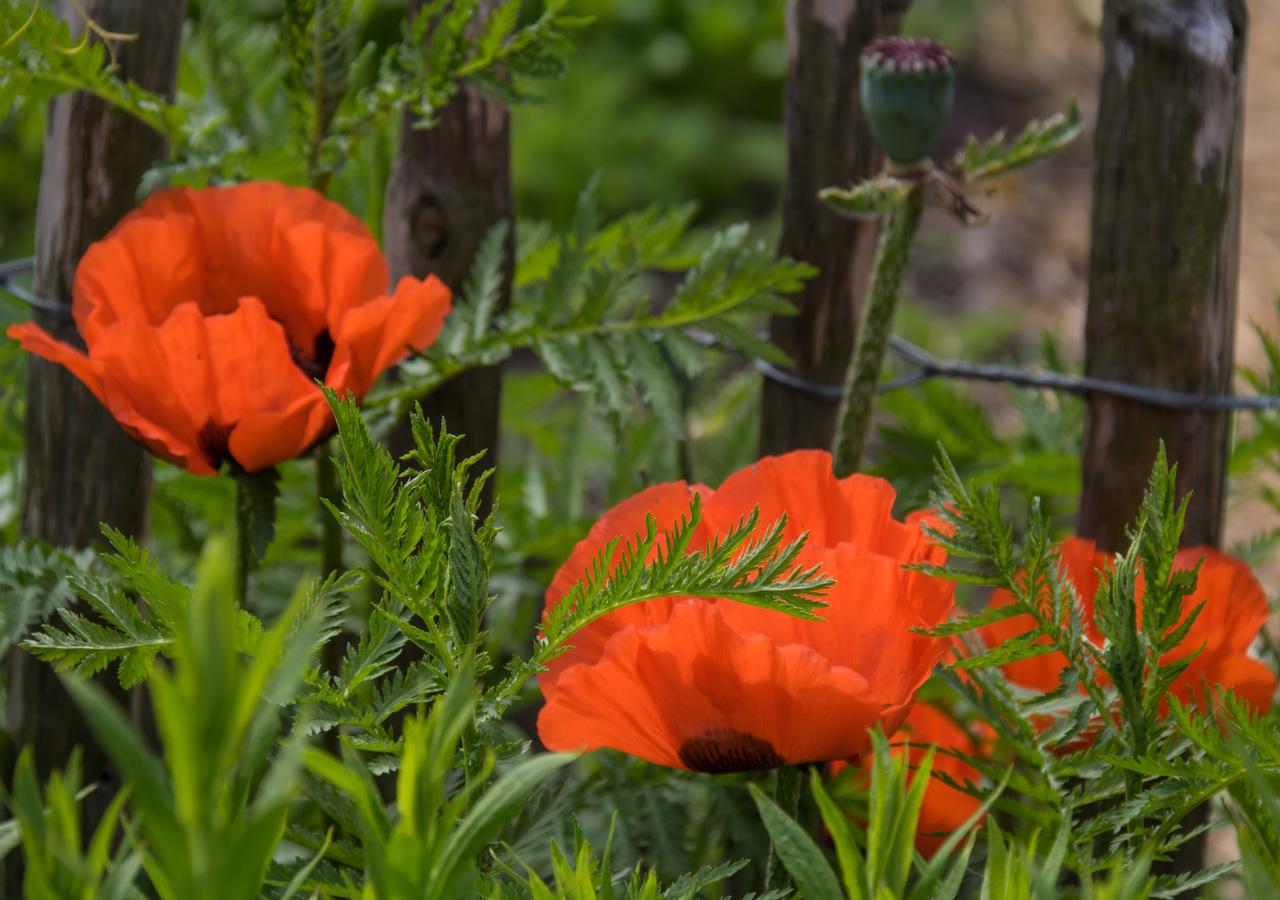 Hoa anh túc - Papaver somniferum