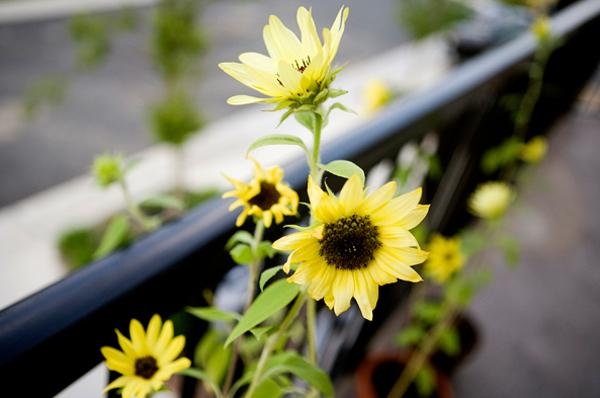 Hoa chịu nắng cực tốt trồng ban công hướng tây