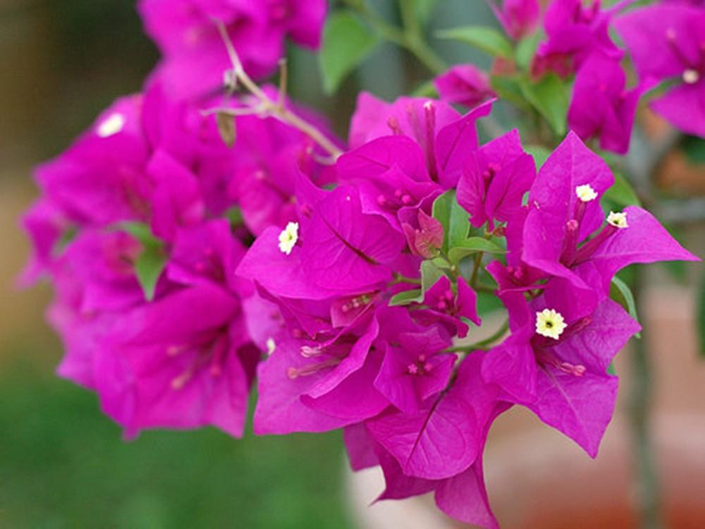 Hoa giấy hợp phong thủy