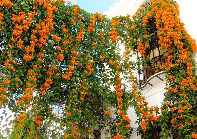 Choáng ngợp với giàn hoa leo chùm ớt đẹp rực rỡ