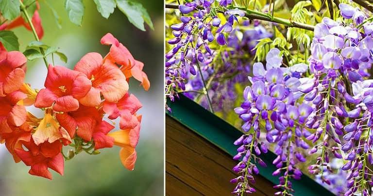 Hoa leo thân gỗ khỏe đẹp lại dễ trồng