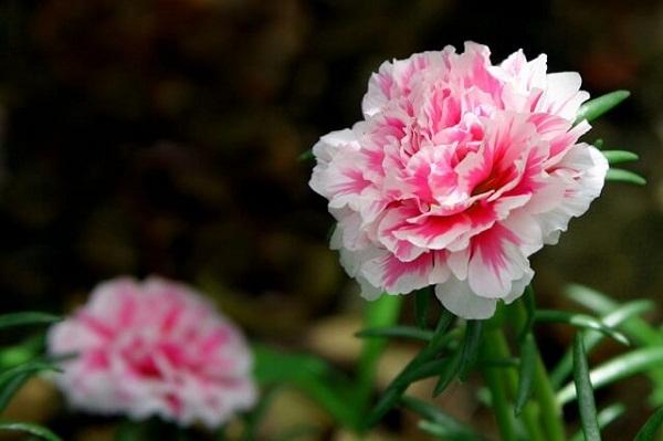 15 loại hoa tặng mẹ ý nghĩa nhất