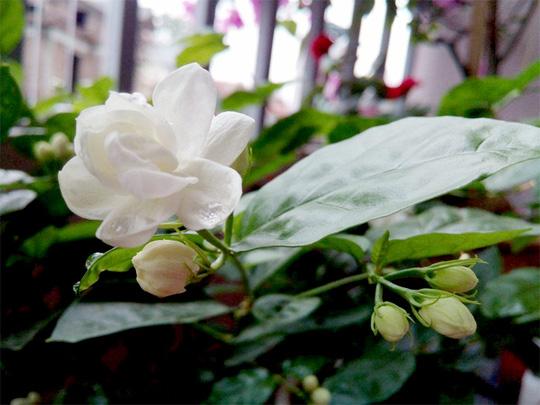 Hoa lài