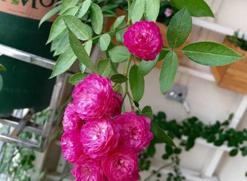 Bí quyết trồng hoa hồng ở ban công không bị sâu bệnh