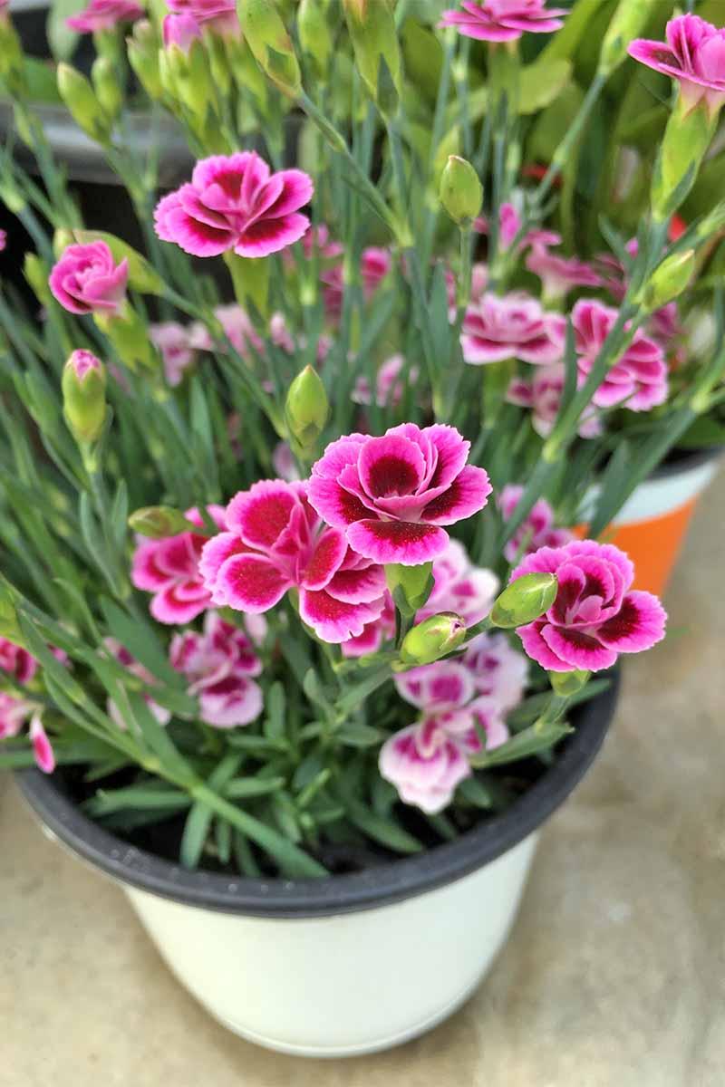 Bí kíp cắt tỉa hoa cẩm chướng nở đẹp phát triển tốt