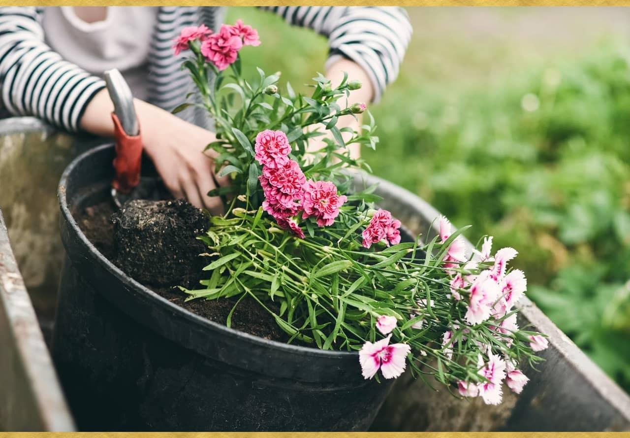 Bẻ ngọn hoa cẩm chướng giúp cho các mầm hai bên phát triển và cho ra cành đồng đều.