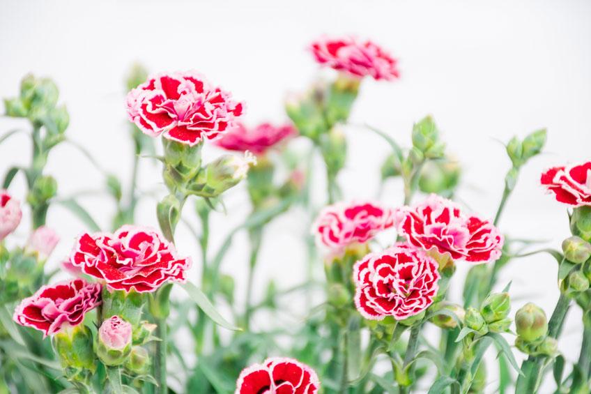 Bấm ngọn tỉa cành hoa cẩm chướng giúp cây mau ra hoa