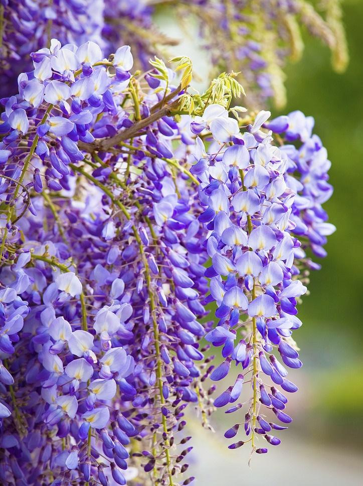 Tuyệt chiêu cắt tỉa hoa tử đằng cho hoa nở đẹp