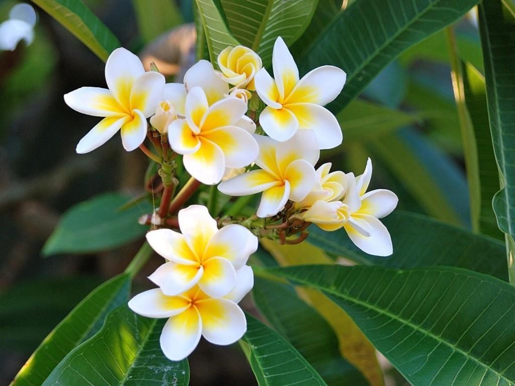 Hướng dẫn chi tiết cách trồng hoa sứ bằng phương pháp giâm cành