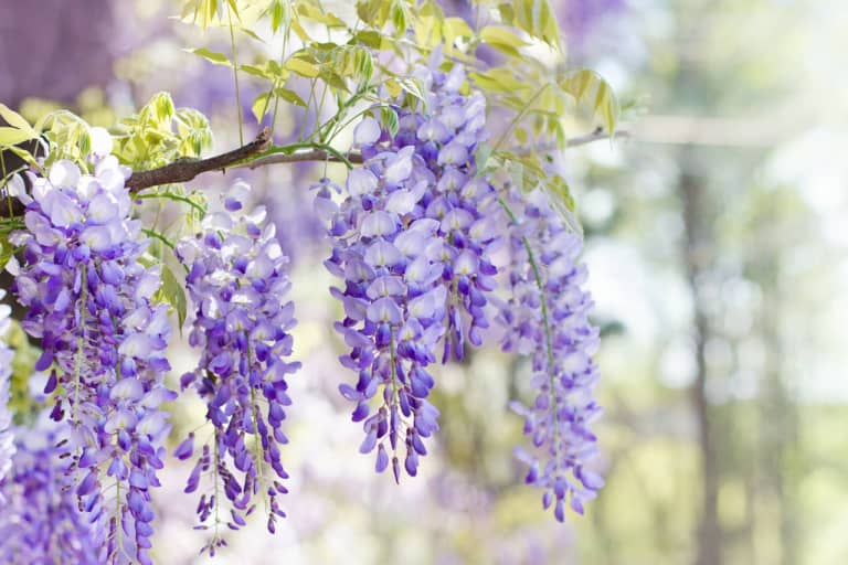 Chi tiết các bước giâm cành hoa tử đằng nhân giống cho hoa nở đẹp