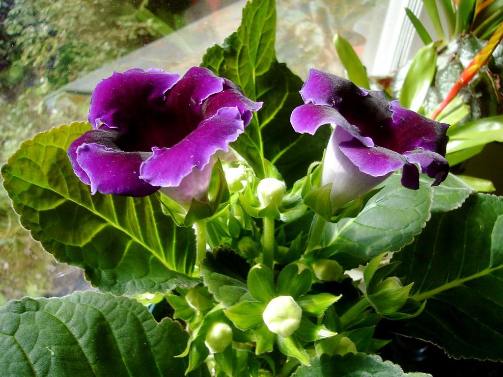 Hướng dẫn chi tiết các bước giâm lá nhân giống hoa tử la lan