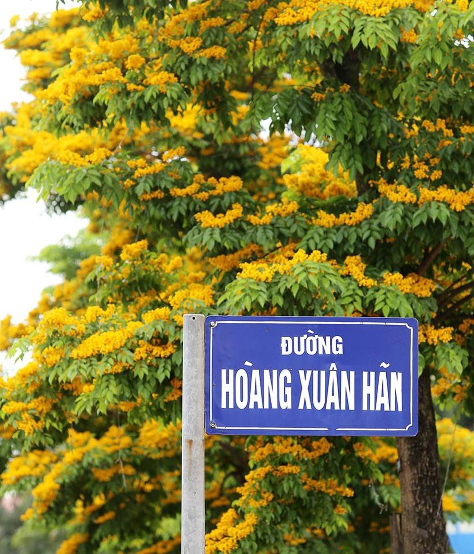 Ngơ ngẩn trước phố với sắc vàng rực rỡ của hoa
