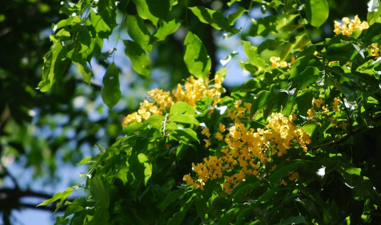 Hoa giáng hương tên tiếng anh là Padauk có nguồn gốc từ Đông Nam Á