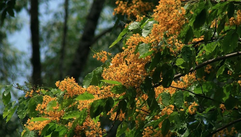 Khám phá tất cả đặc điểm của cây Giáng hương vàng rực giữa phố
