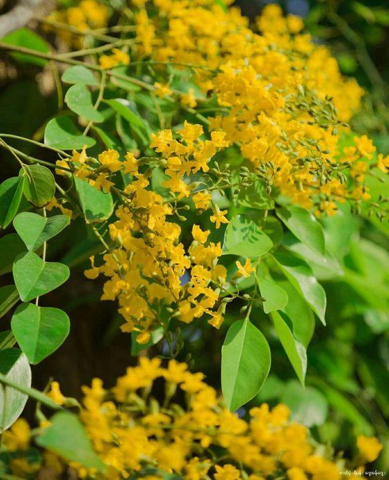 Cẩm nang về cây hoa giáng hương rực vàng giữa phố