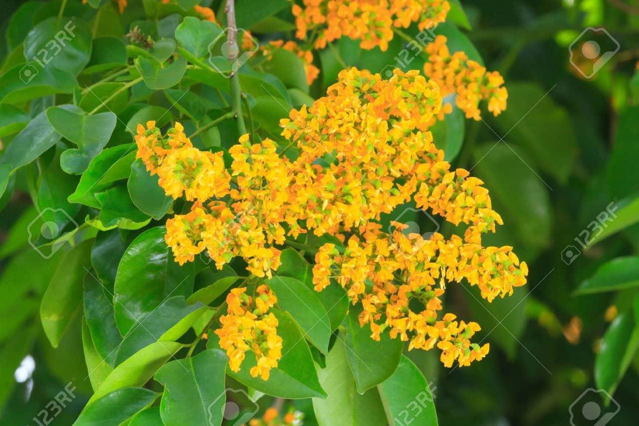 Hướng dẫn cách trồng và nhân giống hoa giáng hương rực rỡ sắc vàng