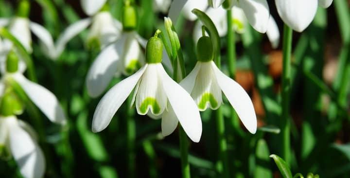 Khám phá vẻ đẹp hoa giọt tuyết mọc lên từ Vườn Địa Đàng