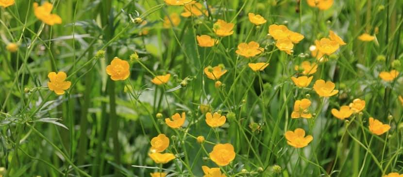Khám phá vẻ đẹp rực rỡ của Hoa mao lương vàng Buttercup nổi bật