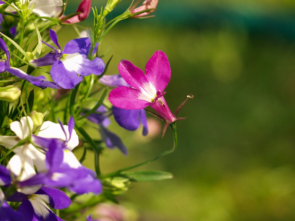Tìm hiểu nguồn gốc và đặc điểm hoa thúy điệp Lobelia erius