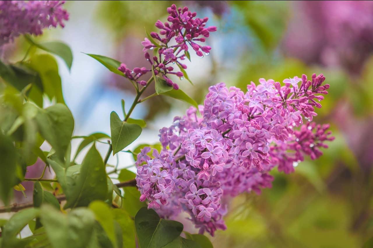 Tìm hiểu nguồn gốc đặc điểm hoa tử đinh hương tên tiếng anh Lilac