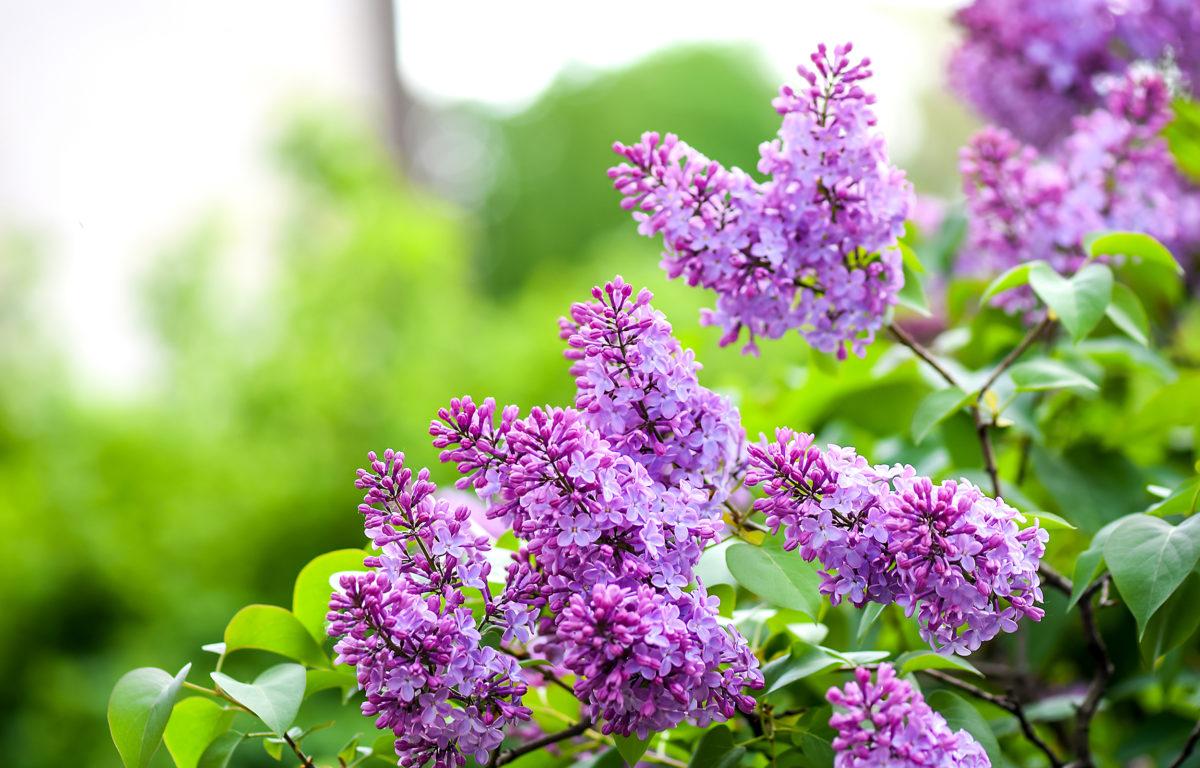 Tử đinh hương là cây dễ nhân giống; có thể nhân giống bằng nhiều phương pháp như ươm hạt, giâm hom, chiết cành…