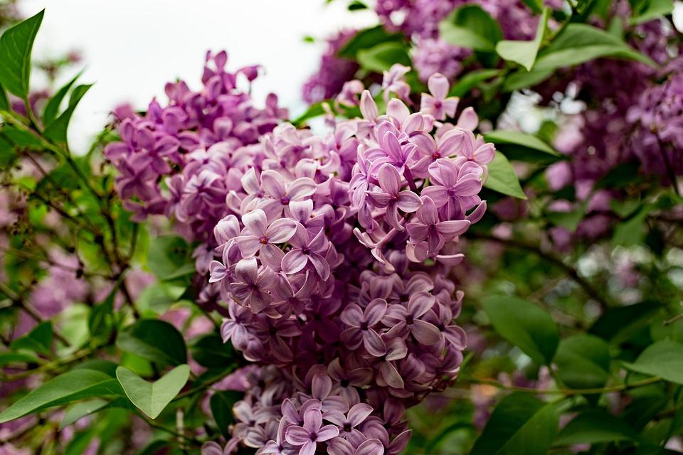 Hoa Tử Đinh Hương đa dạng về màu sắc, có dạng hình ống nhỏ có đường kính ~ 1cm. Với 4 cánh hoa tượng trưng cho bốn niềm vui lớn của cuộc đời.