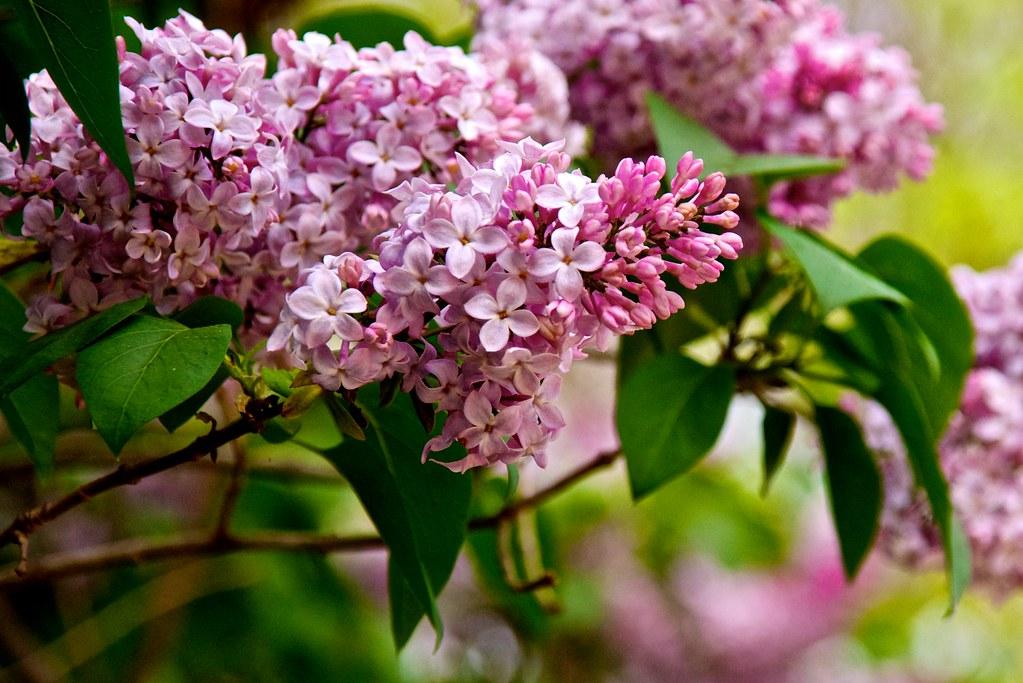 Trong y học Đông phương cây đã được sử dụng từ lâu ở Trung Quốc làm chất kích thích thơm.