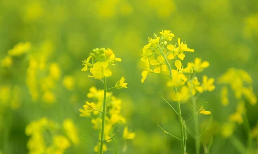 Sự tích hoa cải vàng câu chuyện về chiếc kéo thần kỳ