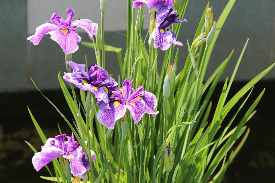 Background Iris flower