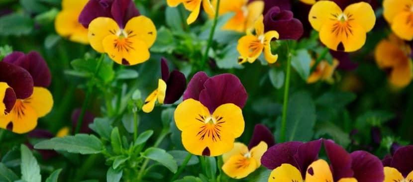 Truyền thuyết hoa Pansy mang phép màu kỳ diệu về tình yêu