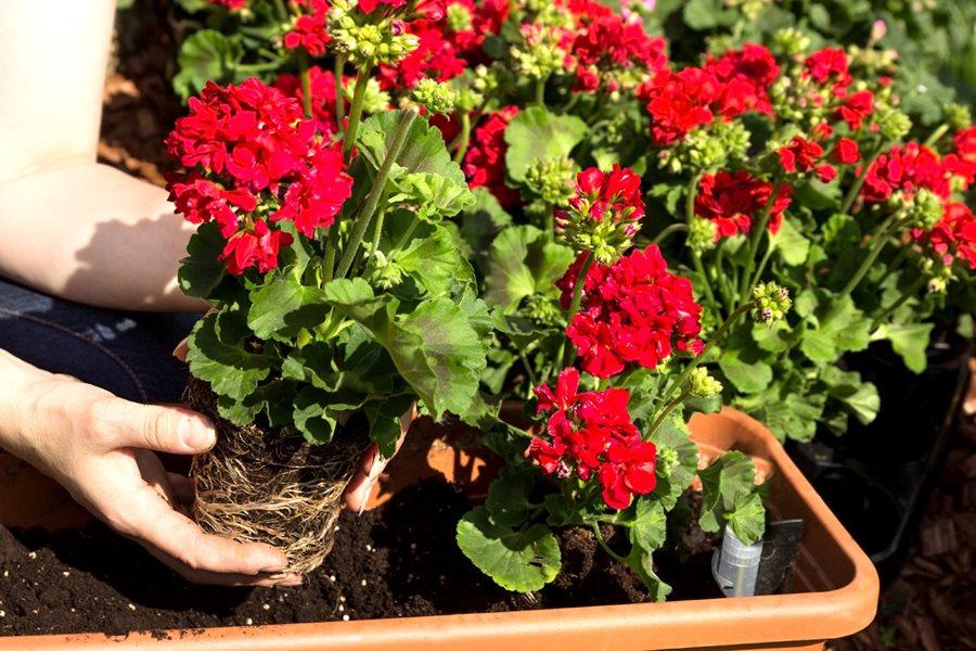 Gieo trồng hoa bằng hạt giống