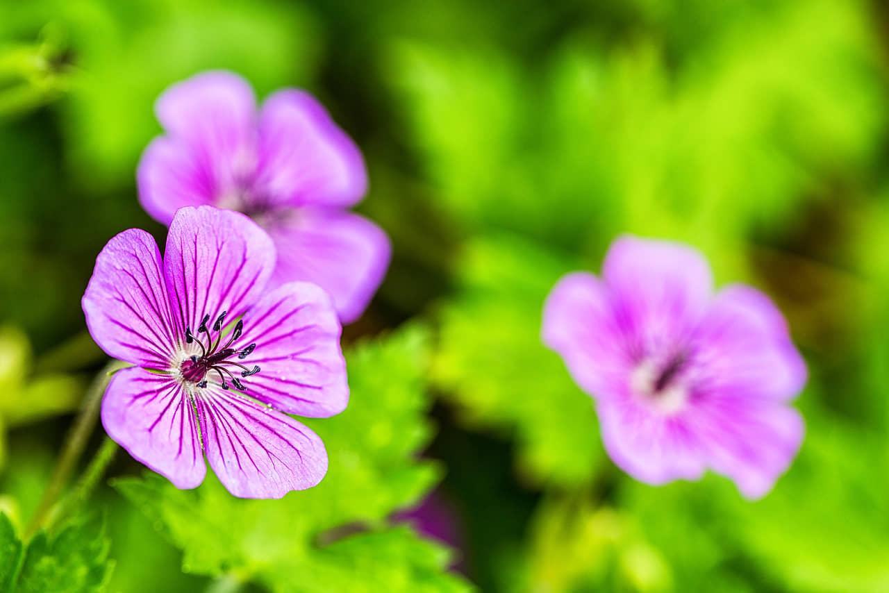 Sự tích hoa phong lữ về cô gái trồng hoa và hạt giống của bầy chim nhỏ