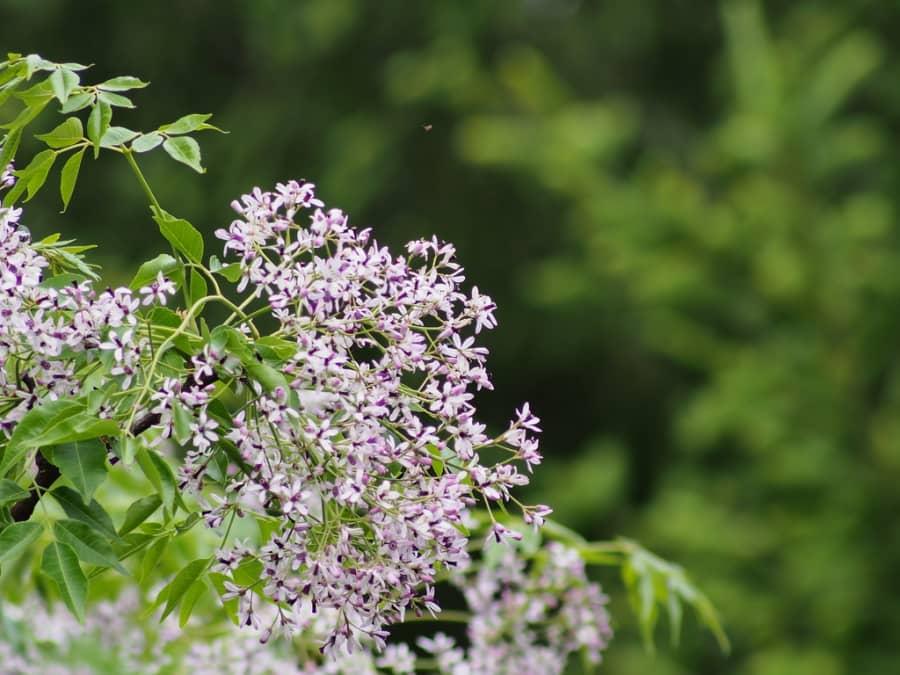 Những bài thơ hay về hoa xoan nở đẹp trên mọi góc phố