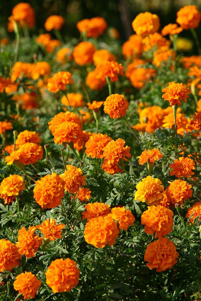 Khám phá tất tần tật về hoa cúc vạn thọ