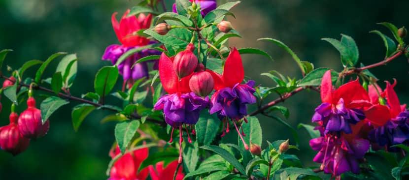 Bất ngờ với vẻ đẹp lung linh của hoa lồng đèn Fuchsia magellanica