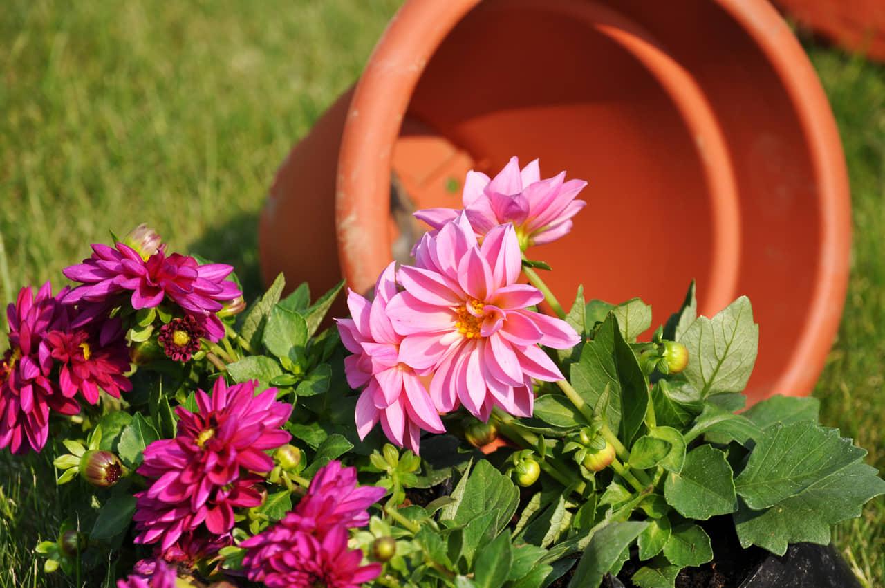 Hướng dẫn chi tiết các bước trồng hoa thược dược bằng củ