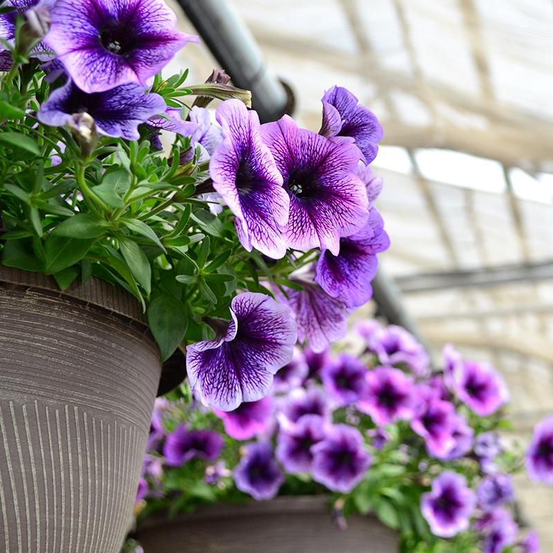 Hướng dẫn các bước gieo hạt trồng hoa dạ yến thảo treo chậu đẹp nổi bật