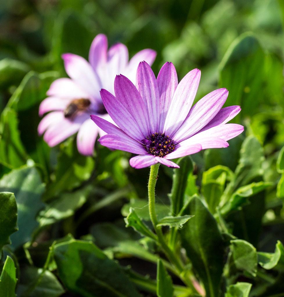Hướng dẫn chi tiết cách trồng hoa cúc châu phi bừng nở góc vườn