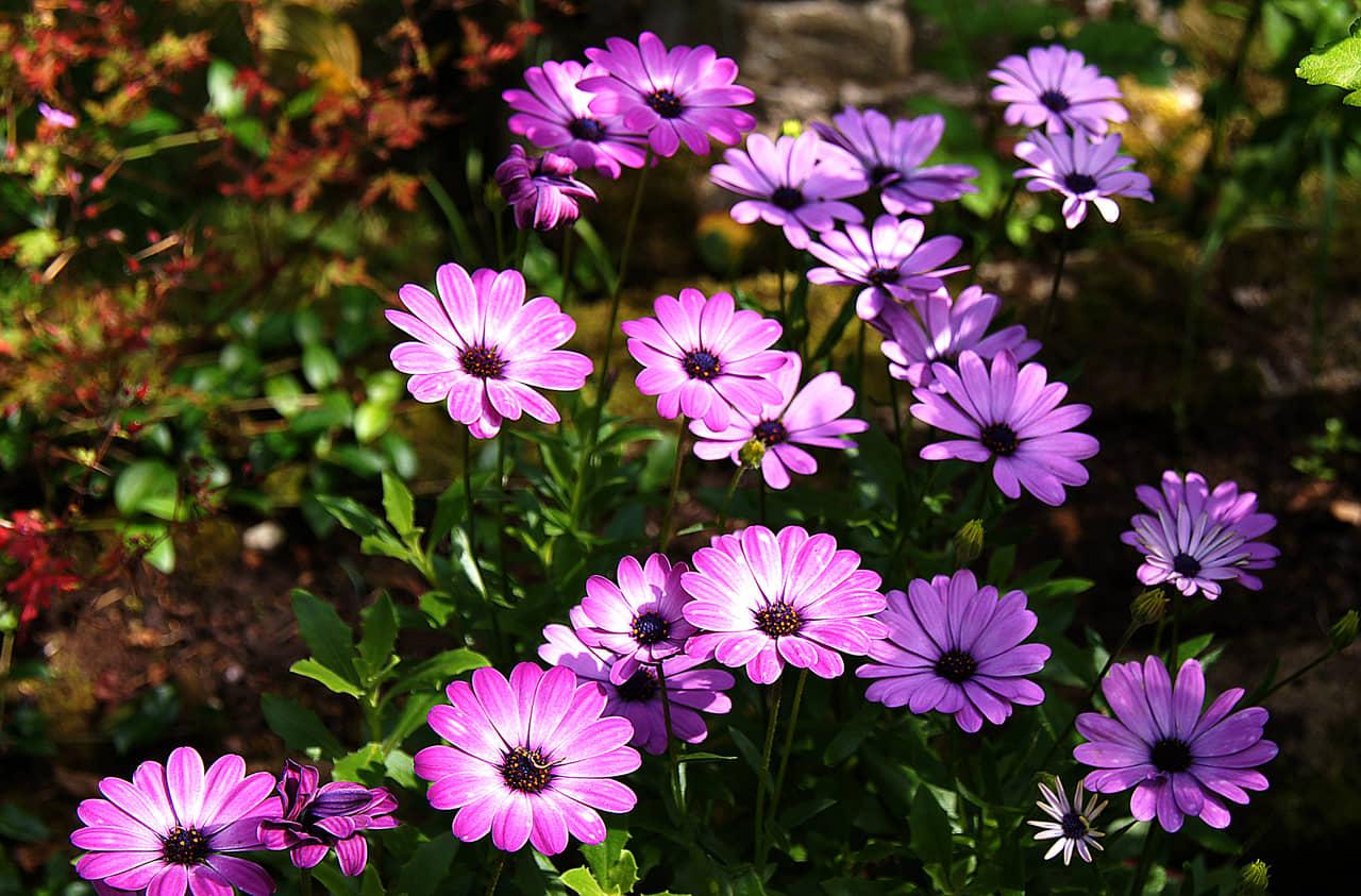 Hướng dẫn chi tiết cách trồng hoa bừng sáng góc vườn