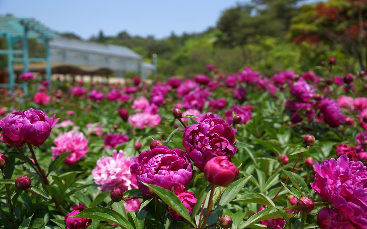 Phương pháp trồng hoa mẫu đơn bằng cách gieo hạt