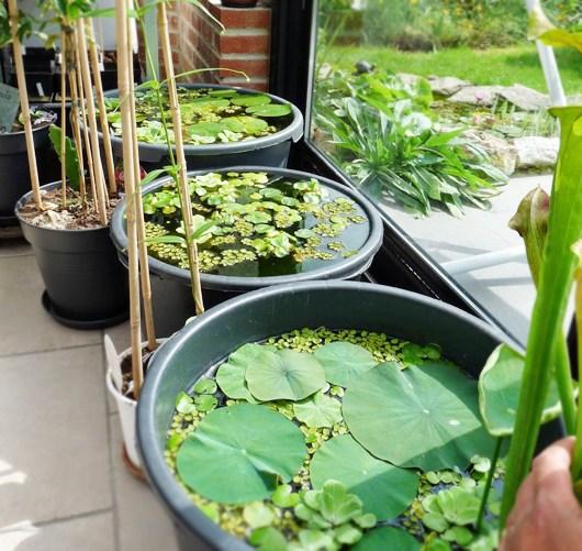 Bí kíp trồng sen trong chậu đơn giản ngay tại nhà
