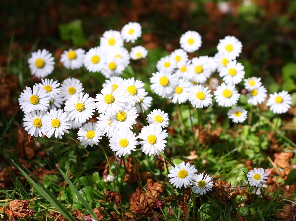 Ý nghĩa hoa cúc họa mi mang nét đẹp trẻ thơ hồn nhiên
