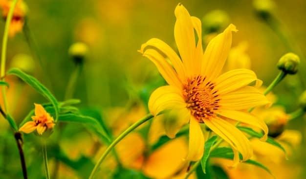 Ý nghĩa hoa dã quỳ mang sắc vàng trong nắng đến tình yêu ngọt ngào